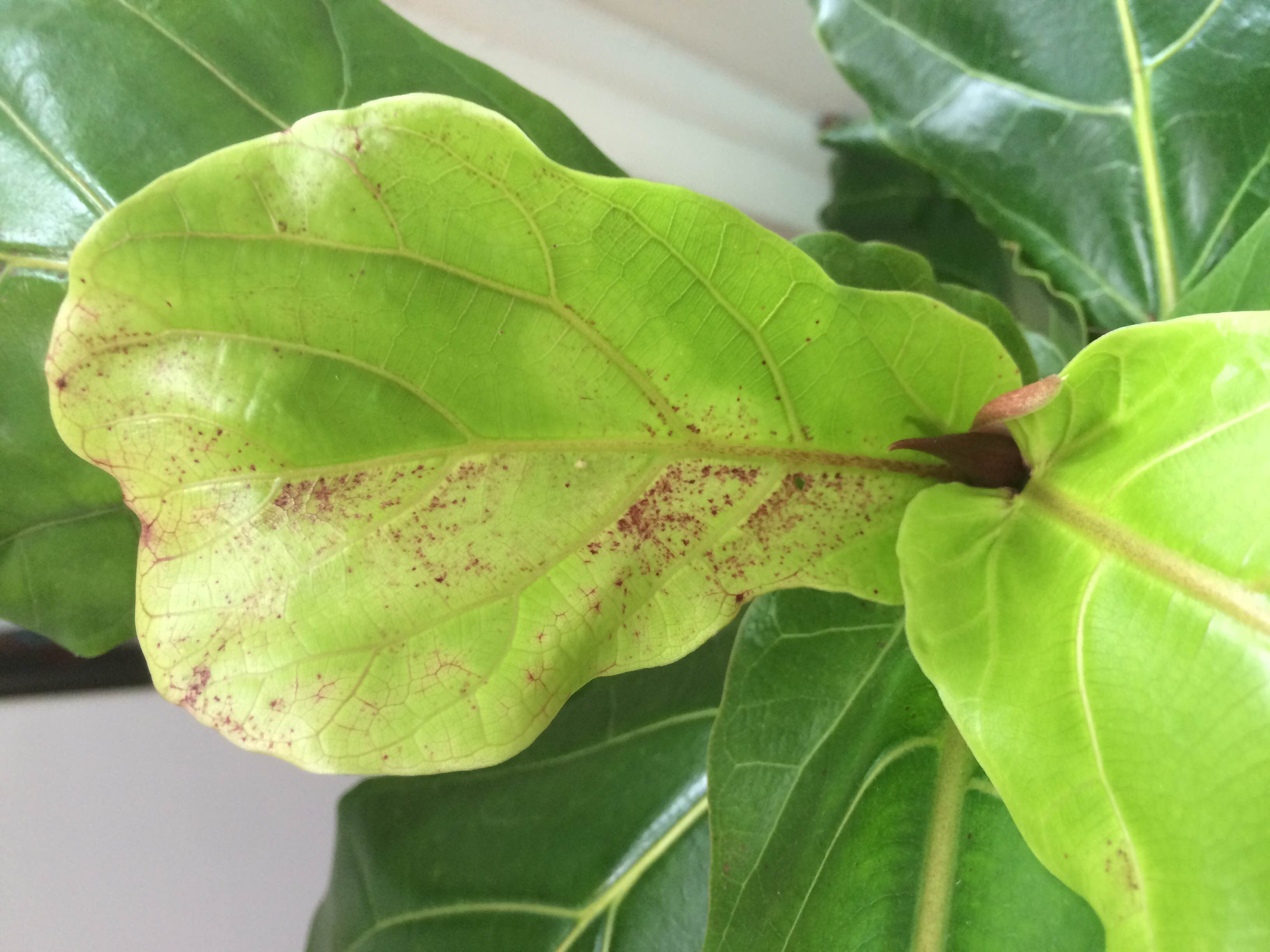 General Forum Fiddle Leaf Fig Tree Help