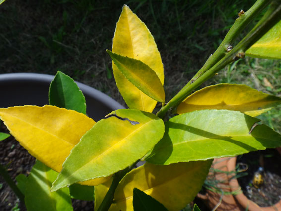 Well Liked Fruit Growing Forum Citrus Leaves Yellowing Problem Lc15